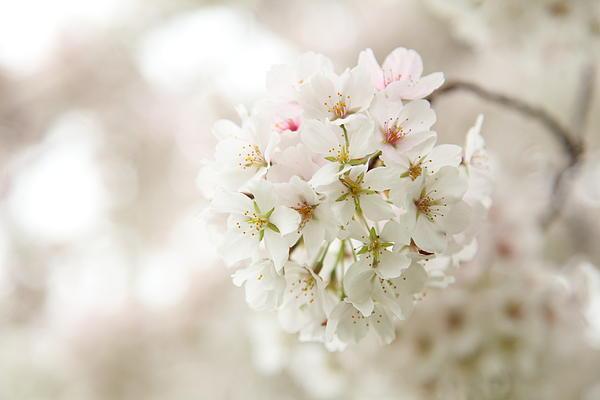Cherry Blossoms - Washington Dc - 0113101 Print by DC Photographer