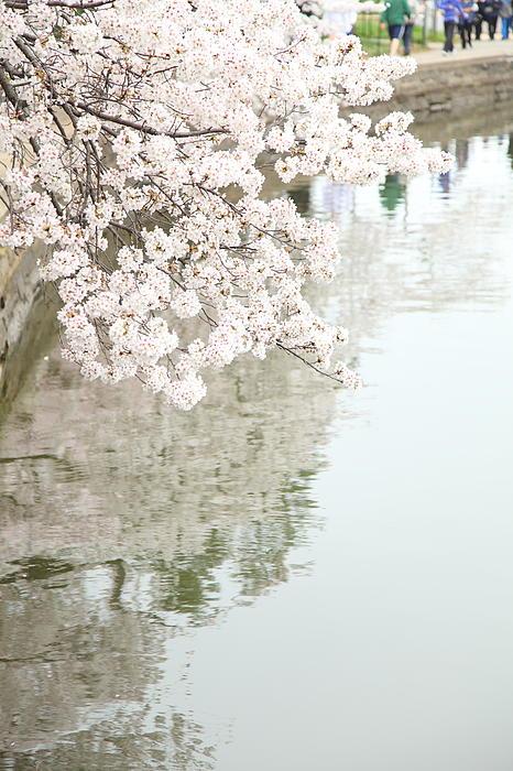 Cherry Blossoms - Washington Dc - 0113105 Print by DC Photographer