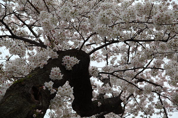 Cherry Blossoms - Washington Dc - 0113114 Print by DC Photographer