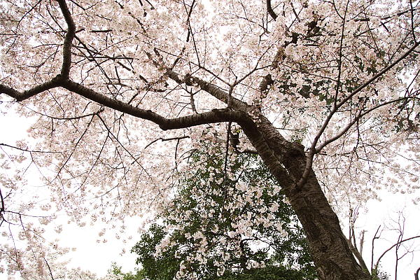 Cherry Blossoms - Washington Dc - 0113115 Print by DC Photographer
