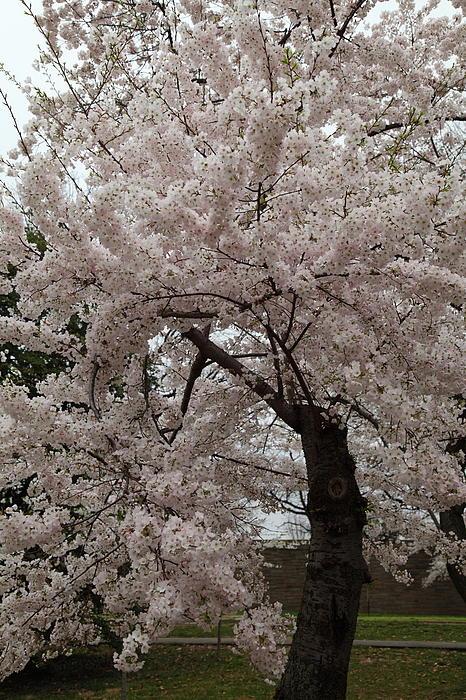 Cherry Blossoms - Washington Dc - 0113118 Print by DC Photographer