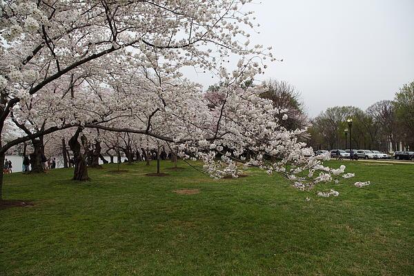 Cherry Blossoms - Washington Dc - 0113130 Print by DC Photographer