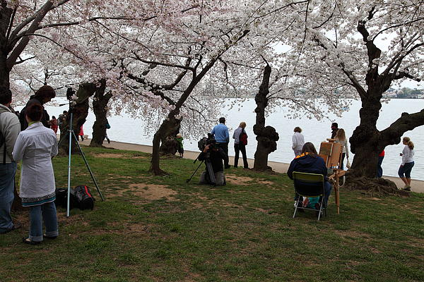 Cherry Blossoms - Washington Dc - 0113132 Print by DC Photographer