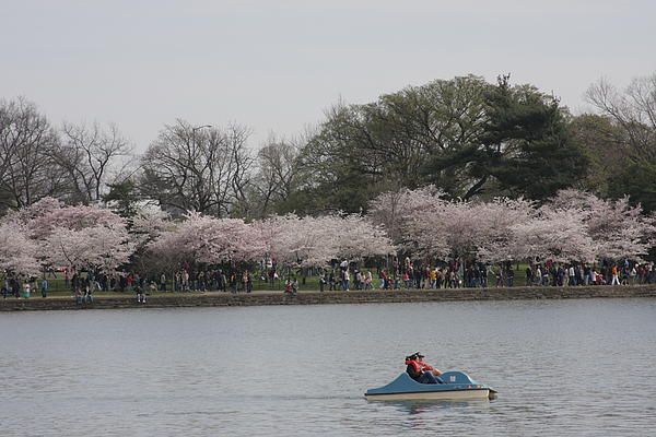 Cherry Blossoms - Washington Dc - 011314 Print by DC Photographer