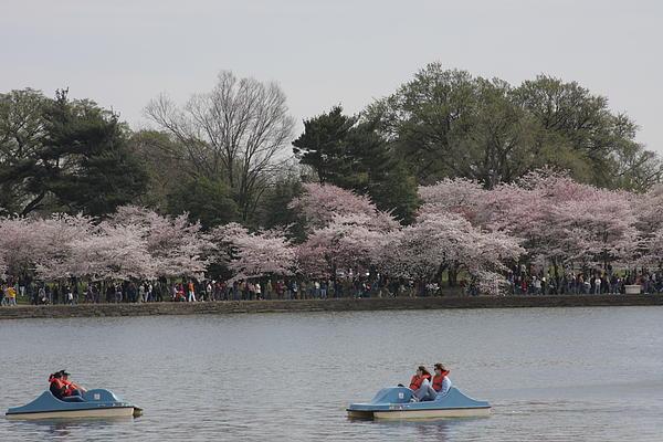 Cherry Blossoms - Washington Dc - 011315 Print by DC Photographer