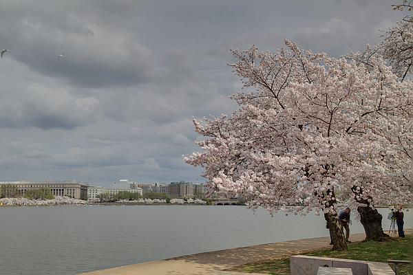 Cherry Blossoms - Washington Dc - 011362 Print by DC Photographer