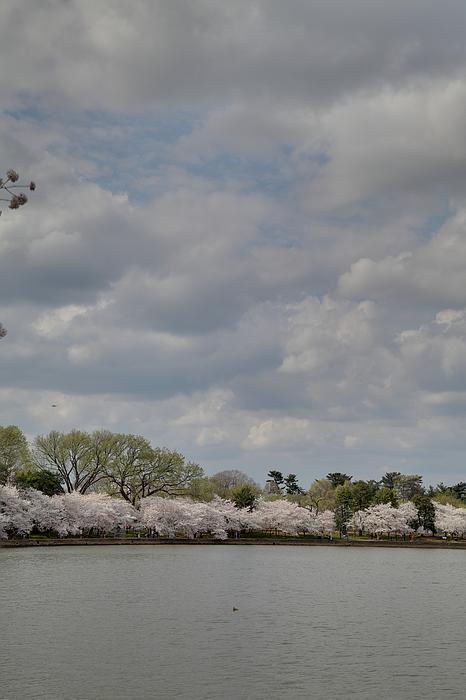 Cherry Blossoms - Washington Dc - 011365 Print by DC Photographer