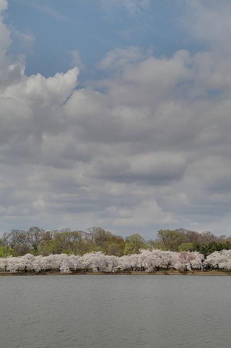 Cherry Blossoms - Washington Dc - 011368 Print by DC Photographer