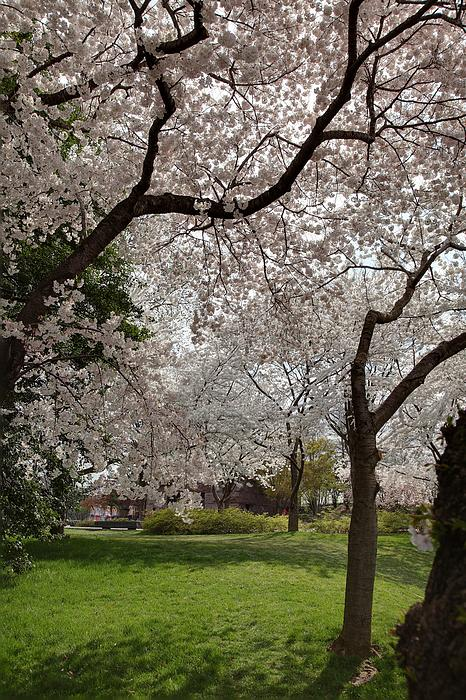 Cherry Blossoms - Washington Dc - 011369 Print by DC Photographer