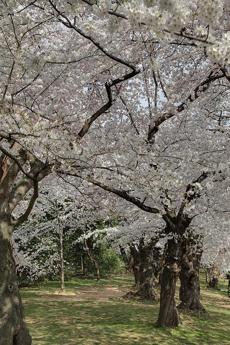 Cherry Blossoms - Washington Dc - 011374 Print by DC Photographer