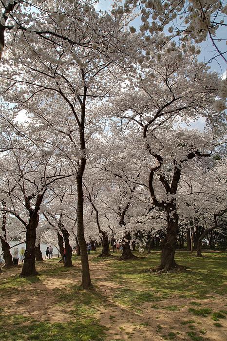 Cherry Blossoms - Washington Dc - 011378 Print by DC Photographer