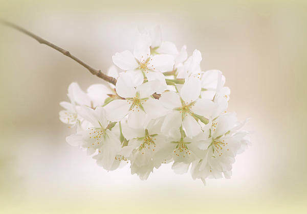 Cherry Tree Blossoms Print by Sandy Keeton