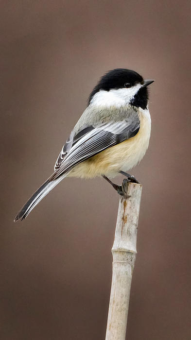 Chickadee Photograph