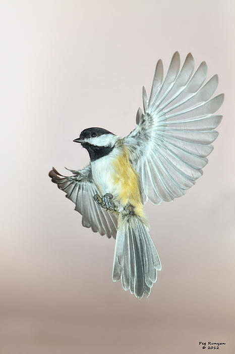 Peg Runyan - Chickadee in Flight