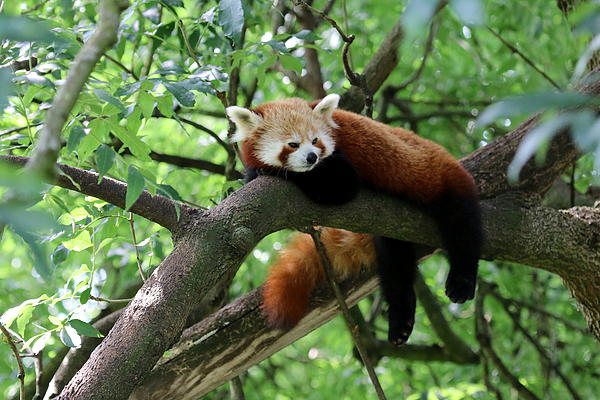 Christiane Schulze Art And Photography - Chilling Red Panda
