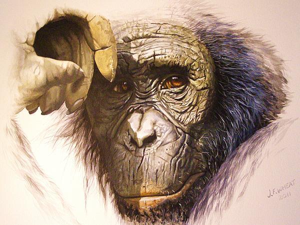 Chimpanzee Print by Julian Wheat