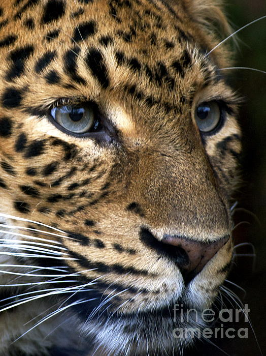 Chinese Panther II Print by Louise Fahy