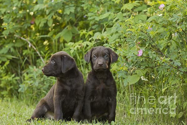 Chocolate Labrador Retriever Puppies Print by Linda Freshwaters Arndt