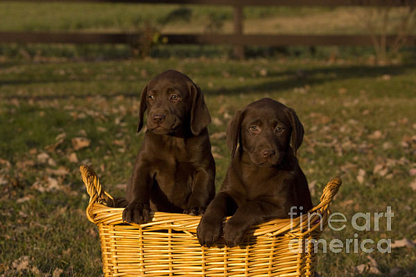 Chocolate Labrador Retriever Pups Print by Linda Freshwaters Arndt