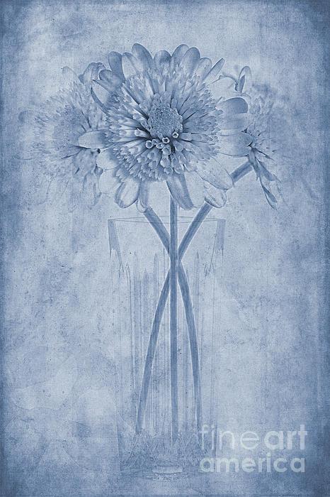 Chrysanthemum Cyanotype Print by John Edwards
