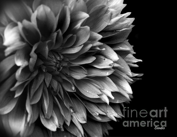 Eena Bo - Chrysanthemum in Black and White