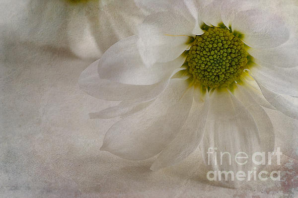 Chrysanthemum Textures Print by John Edwards