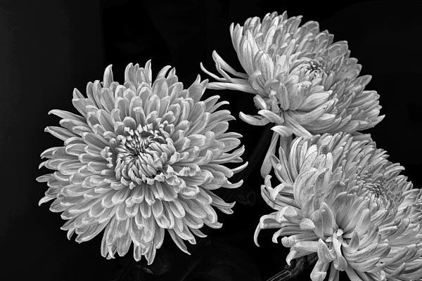Chrysanthemums Print by Igor Baranov