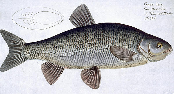 Chub Print by Andreas Ludwig Kruger
