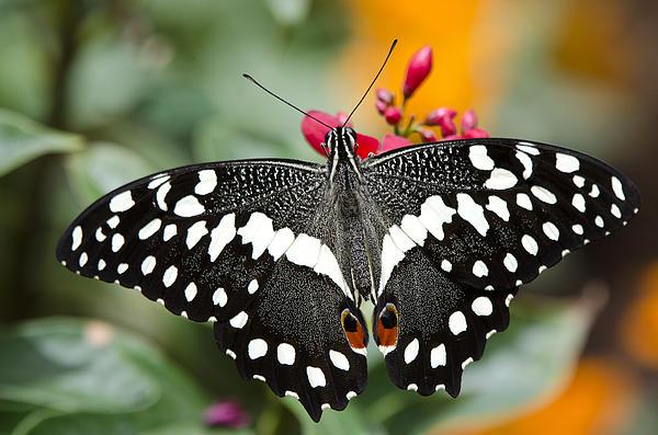 Citrus Swallowtail Butterfly Print by Saija  Lehtonen