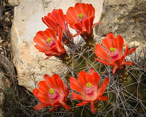 Claret Cups Print by Thomas Pettengill