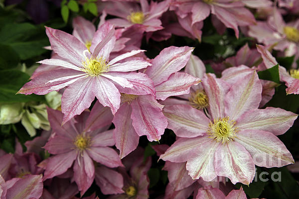 Clematis First Lady Print by Ros Drinkwater