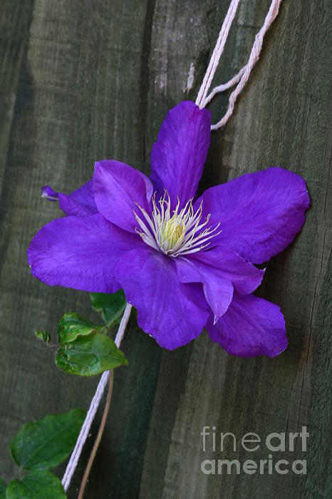 Clematis On A String Print by Jeremy Hayden