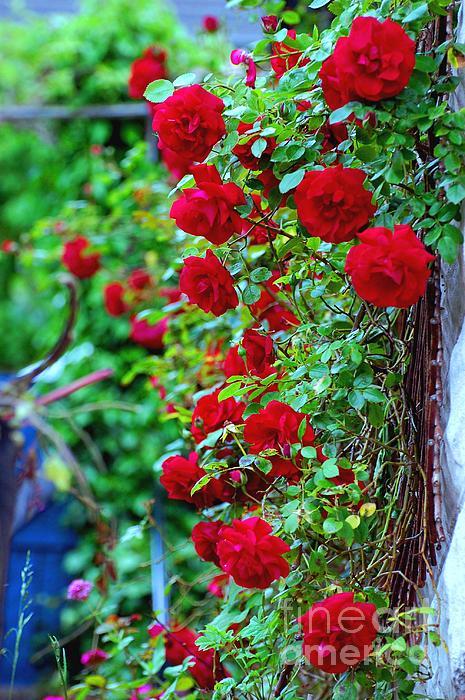 Climbing Red Roses Print by C  Lythgo