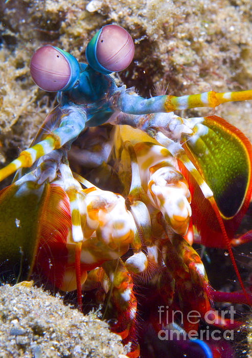 Close-up View Of A Mantis Shrimp Print by Steve Jones