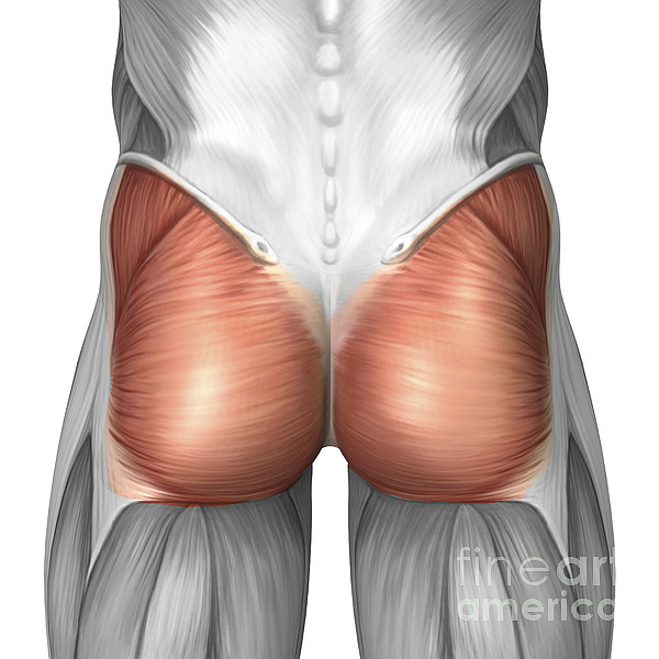 Close-up View Of Human Gluteal Muscles Print by Stocktrek Images