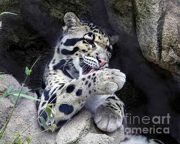 TN Fairey - Clouded Leopard