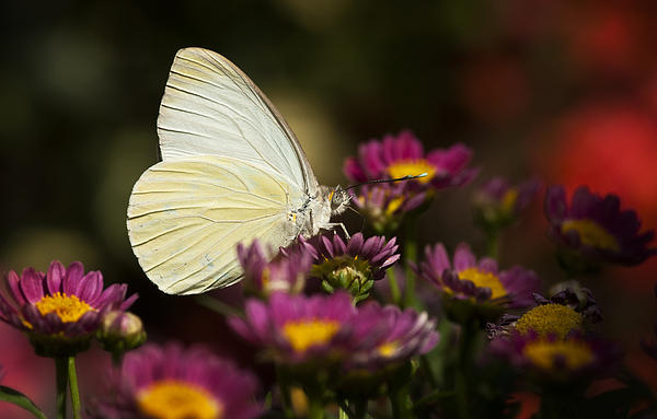 Cloudless Sulphur Butterfly  Print by Saija  Lehtonen