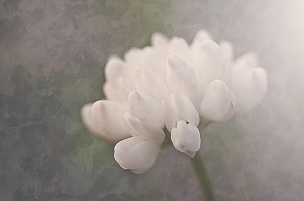 Clover In White Print by Faith Simbeck