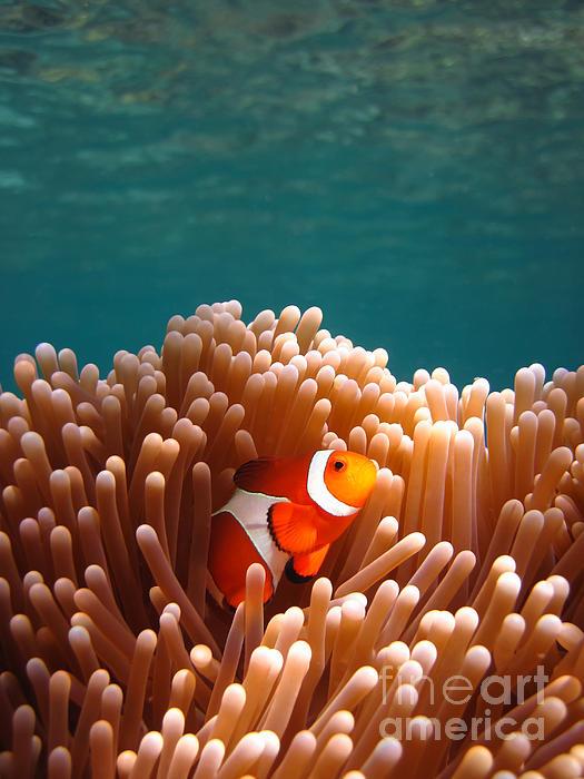 Clownfish In Coral Garden Print by Fototrav Print