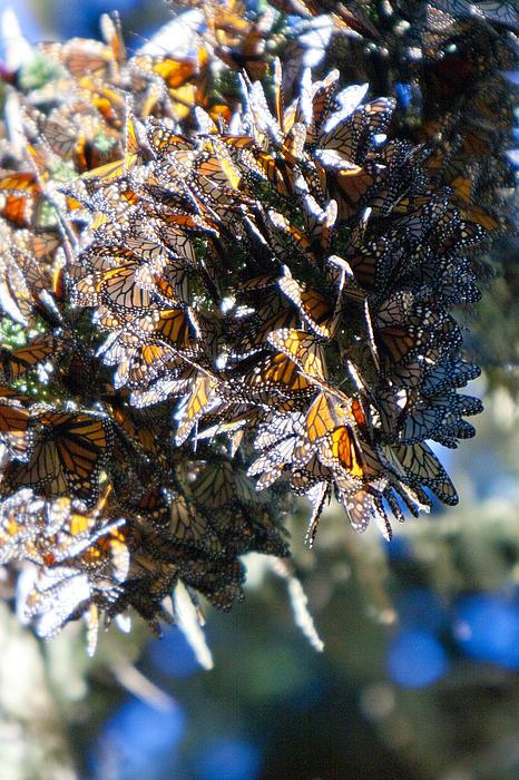 Clustering Monarch Butterflies Print by Patricia Sanders