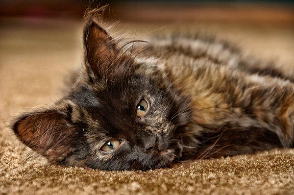 Coco Kitten Photograph