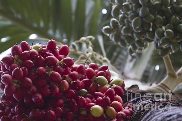 Cocos Nucifera - Niu Mikihilina - Palma - Niu - Arecaceae -  Palmae Print by Sharon Mau