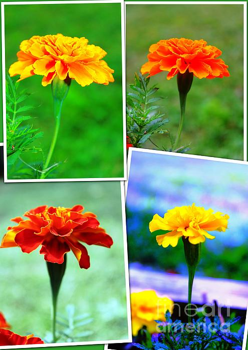 Collage Of Marigolds Print by Judy Palkimas