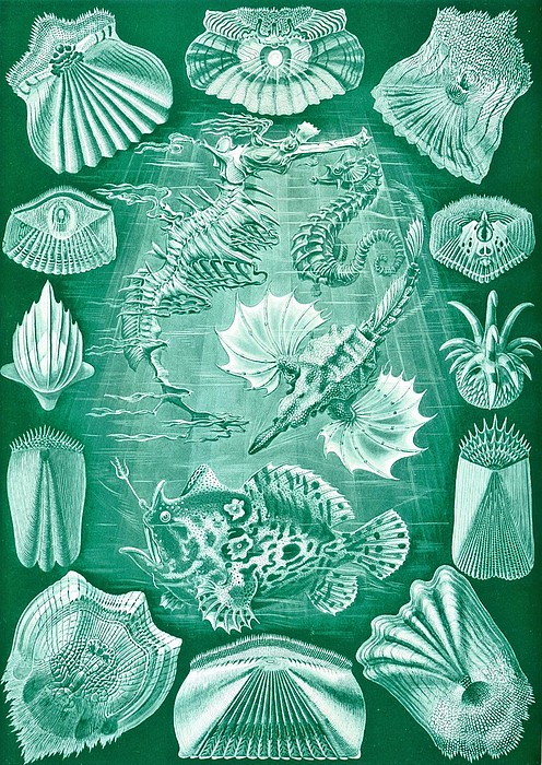 Collection Of Teleostei Print by Ernst Haeckel