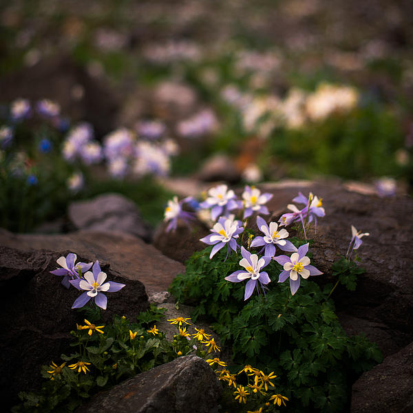 Colorado Columbine Glamour Shot Print by Mike Berenson