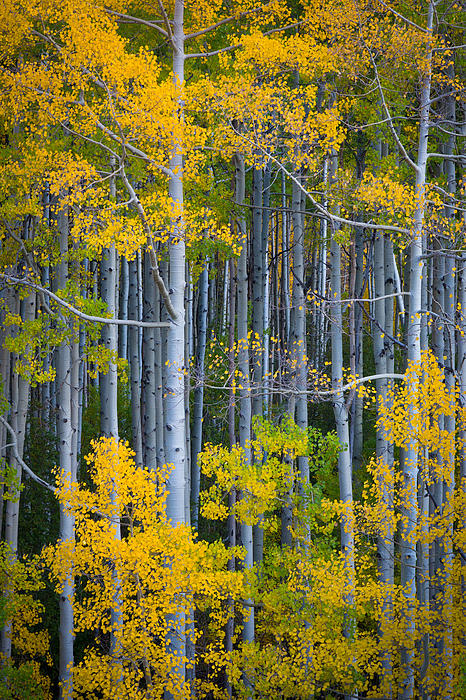 Inge Johnsson - Colorado Fall Color