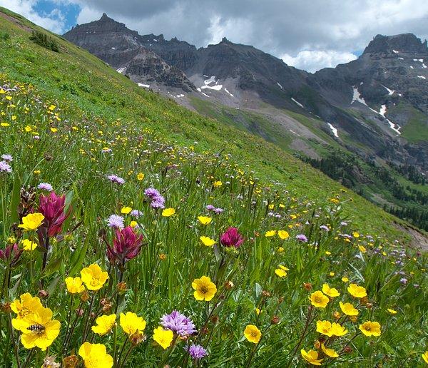 Cascade Colors - Colorado Wildflowers and Mountains