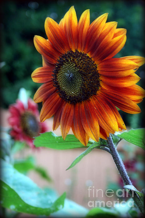 Kay Novy - Colored Sunflower