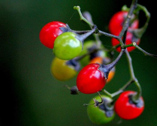 Colorful Berries Print by Rosanne Jordan