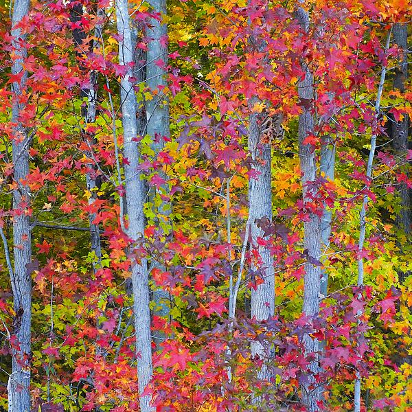 Colorful Fall Leaves Print by Scott Cameron